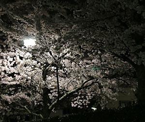 創価学会会館の夜桜